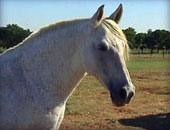 picture of andalusian horse